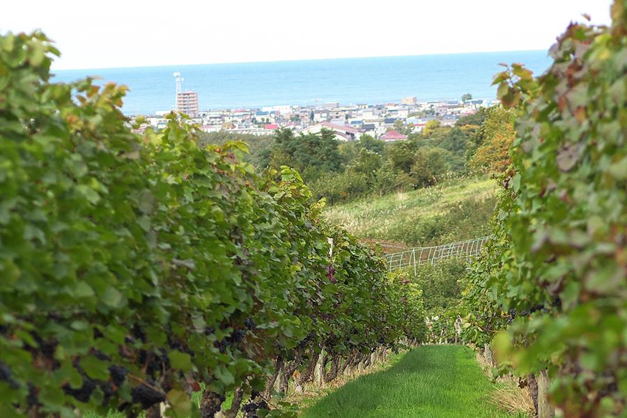 北海道余市にある海が見える葡萄畑
