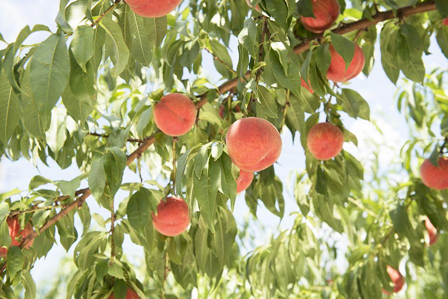 木に成っている桃園の桃