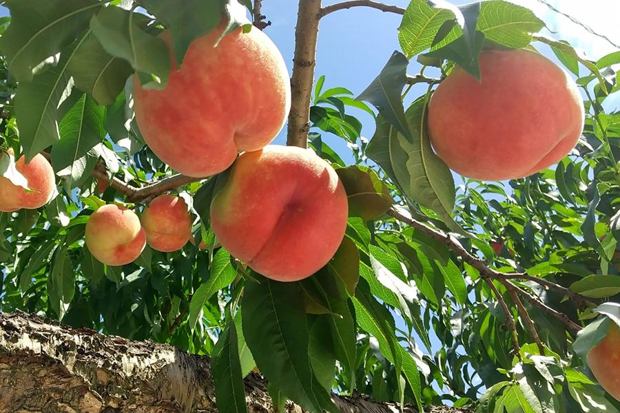 木に実っている桃